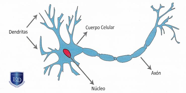 Como es la estructura de una neurona